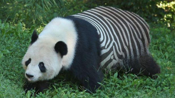 panda-zebra